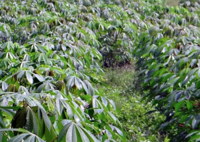 Waste products from the Cassava plant gain new purpose in food production